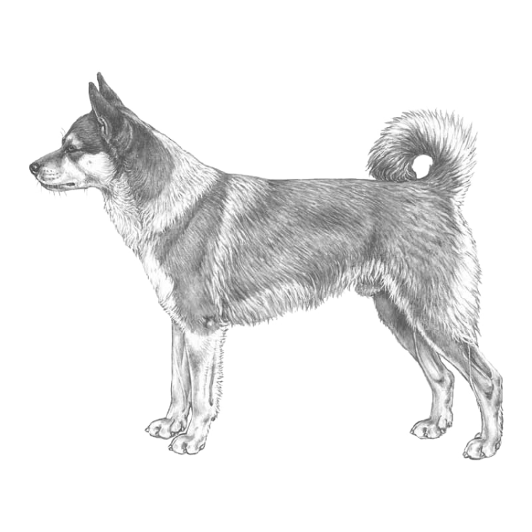 norsk-lundehund-800x800-fci265.png