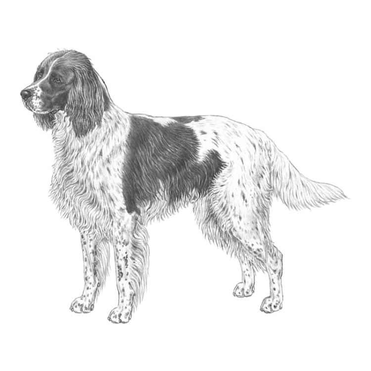 french-spaniel-800x800-fci175.png