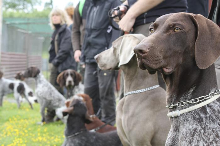 hundkurs-utbildning-fagelhund-weimaraner-vorsteh.jpg