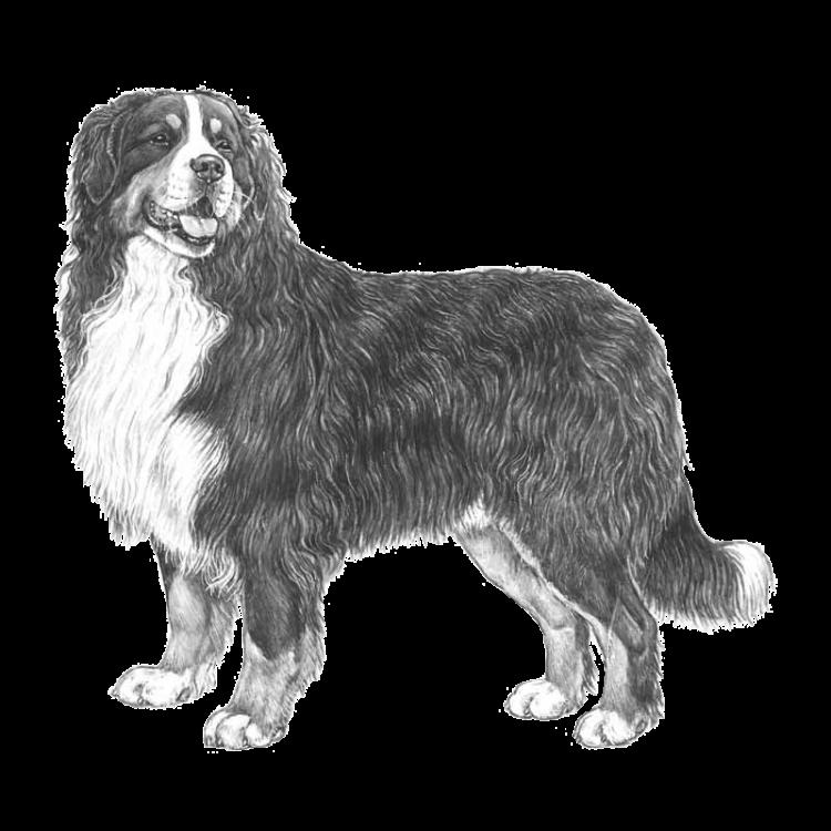 bernese-mountain-dog-800x800-fci45.thumb
