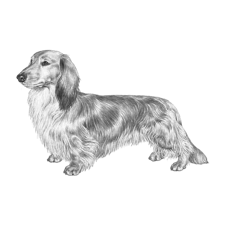 dachshund-long-haired-800x800-fci148.png