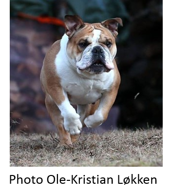 running_bulldog_small.jpg.thumb.png.7b9a