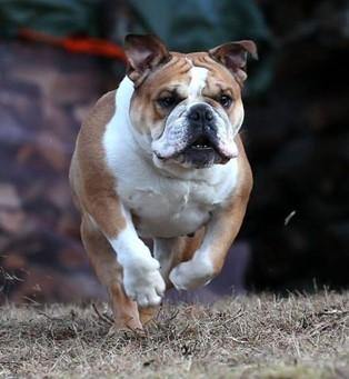 running bulldog_small.jpg