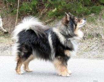 Native Breeds Finland Finnish Lapphund.jpg