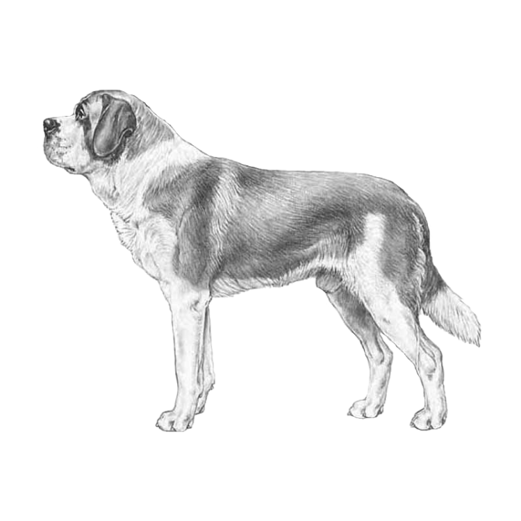 st-bernard-short-coated-800x800-fci61.png