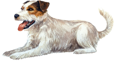 Parson-Russell-terrier-image.jpg