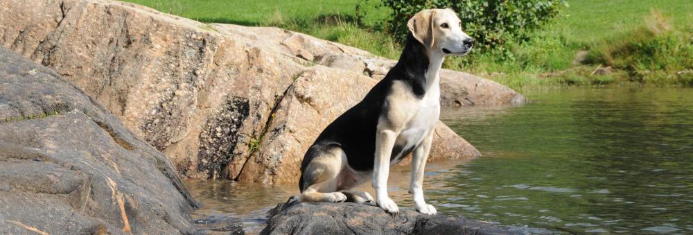 Dunker_Vibeke Brath.jpg (dog_race_profile).jpg