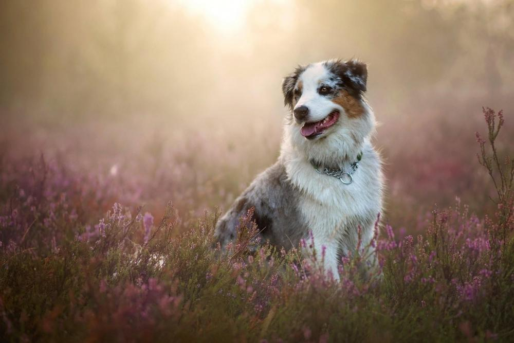 australian-shepherd-wallpaper.jpg