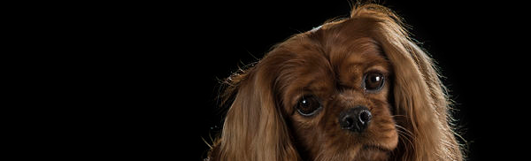 Pilot study of head conformation changes over time in the Cavalier King Charles spaniel breed
