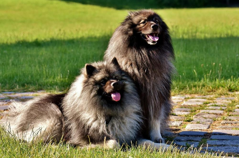 Dog-Breed-Long-Haired-Dogs-Pointed-Keeshond-Pet-2405877.jpg