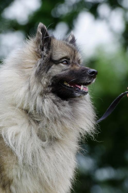 Keeshond-wolf-spitz-portrait.png