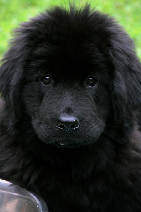 Newfoundland-Black-Cute-Pet-Giant-1062335.jpg