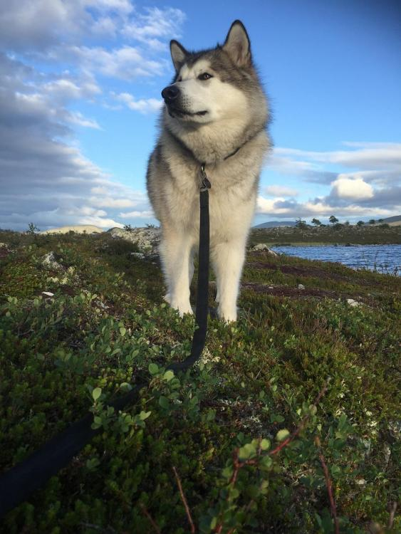 Dog-Sled-Dog-Femundsmarka-Norway-Alaskan-Malamute-1486709.jpg